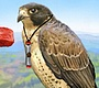 Play the new Girl Flash Game: Brave Falcon