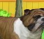 Speel het nieuwe girl spel: Buddy de Bulldog